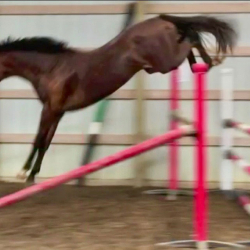 Inzell-kwpn-free-jump-2